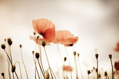 Corn Poppy Flowers Papaver rhoeas Royalty Free Stock Photos