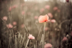 Corn Poppy Flowers Papaver rhoeas Royalty Free Stock Images