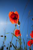 Corn Poppy Flowers Papaver rhoeas Royalty Free Stock Image