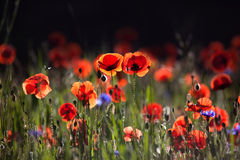 Corn Poppy Flowers Papaver rhoeas Stock Image