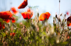Corn Poppy Flowers Papaver rhoeas Stock Photo