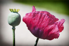 Corn poppy flowers Royalty Free Stock Photography
