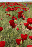 Corn poppy flowers Stock Image