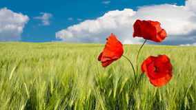Corn poppy in green field. Amazing landscape with red poppies in green corn field under blue clouded sky. HD ratio, 16x9 stock image