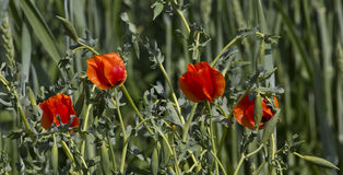 Corn Poppy and Greens Royalty Free Stock Photo