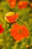 Corn poppy hatched Stock Images
