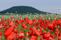 Corn poppy and hill Stock Image