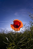 Corn poppy in a meadow against the light Royalty Free Stock Photography