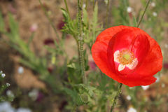 Corn poppy (Papaver rhoeas). In a field, close up Stock Photo