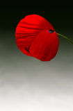 Corn poppy (Papaver rhoeas). Beautiful single Poppy isolated on backgrond Stock Photos