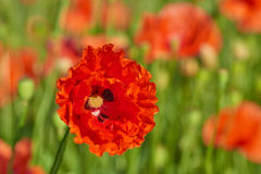 Corn poppy. Papaver rhoeas (common names include common poppy, corn poppy, corn rose, field poppy, Flanders poppy, red poppy, red weed, coquelicot) blooming on royalty free stock image