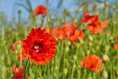 Corn poppy. Papaver rhoeas (common names include common poppy, corn poppy, corn rose, field poppy, Flanders poppy, red poppy, red weed, coquelicot) blooming on stock images