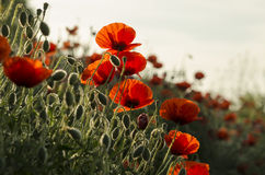 Red corn poppy (Papaver rhoeas) Stock Images