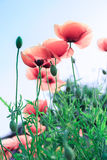 Corn poppy. In the spring Stock Images