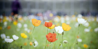 Corn poppy. Swaying in the wind Royalty Free Stock Image