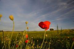 Corn-Poppy Royalty Free Stock Image