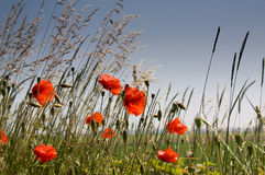 Corn poppys. Field with corn-poppy and cereals in front of blue sky Royalty Free Stock Photos