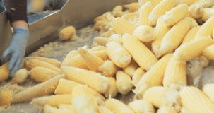 Corn processing factory stock video footage