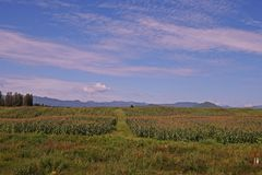 Corn production field Stock Images