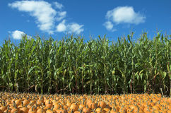 Corn and pumpkin field. Corn field and pumpkin patch Royalty Free Stock Photos