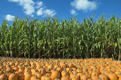 Corn and pumpkin field Stock Photos