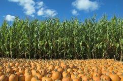 Corn and pumpkin field. Corn field and pumpkin patch Stock Photos