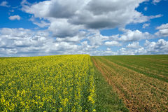 Corn and rape field Royalty Free Stock Photography