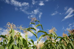 Corn Reaching For The Sky. Corn reaching for the blue sky Stock Images