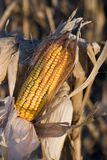 Corn ready for harvest. An ear of feed corn ready for harvest royalty free stock photos