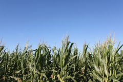 Corn Ready For Harvest Royalty Free Stock Photography