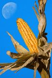 Corn Ready for Harvest Under Daytime Moon. Exposed ear of corn ready for harvested in front of blue sky and daytime moon background Royalty Free Stock Photo