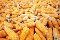 Corn ready for production Stock Photography