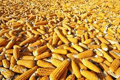 Corn ready for production Royalty Free Stock Photos