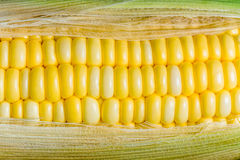 Corn ready for testing in laboratory Stock Photo
