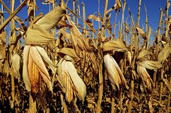 Corn ready to be harvested Stock Photos