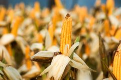 Corn ready to harvest at field royalty free stock image