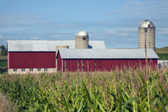 Corn and Red Farm. Buildings Royalty Free Stock Photo