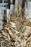 Corn remains after harvest Stock Images