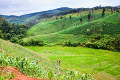Corn and rice fields Stock Photography