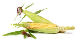 Corn ripe and sweet Royalty Free Stock Photos