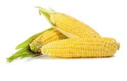 Corn ripe and sweet Royalty Free Stock Image