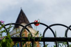 Corn rose flower in front of monumental historical tower in Belgrade royalty free stock photos