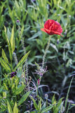Corn Rose Flower. Photograph of Corn Rose flower in a meadow Royalty Free Stock Photography