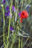 Corn Rose Flower. Photograph of Corn Rose flower in a meadow Stock Photography