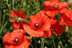 Corn rose (Papaver rhoeas) Stock Image