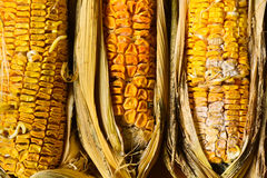 Corn rot Royalty Free Stock Images