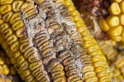 Corn rot. Disease on ear Stock Image