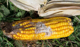 Corn rot Stock Photography