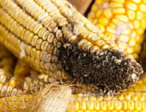 Corn rot Royalty Free Stock Photo