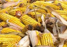 Corn rot Stock Image